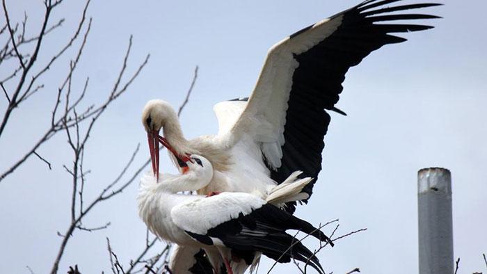 Minden évben 13 ezer kilométert tesz meg ez a gólya, hogy viszontlássa sérült társát