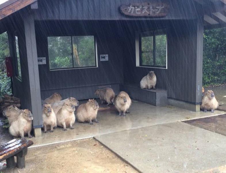 Eső elől bujkáló kapibaráknál ma már nem lesz cukibb