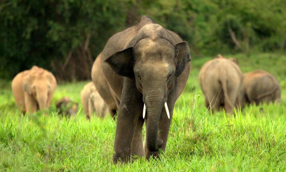 Vad ázsiai elefántok végeztek két emberrel Délnyugat-Kínában