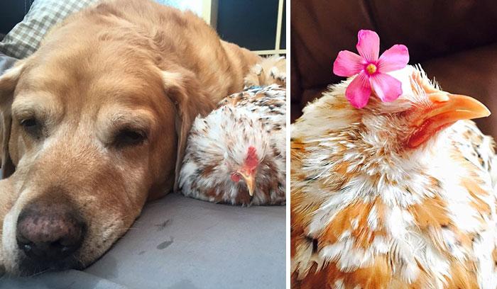 Háziállatokhoz bújva szunyókál a család szemek nélkül született csirkéje