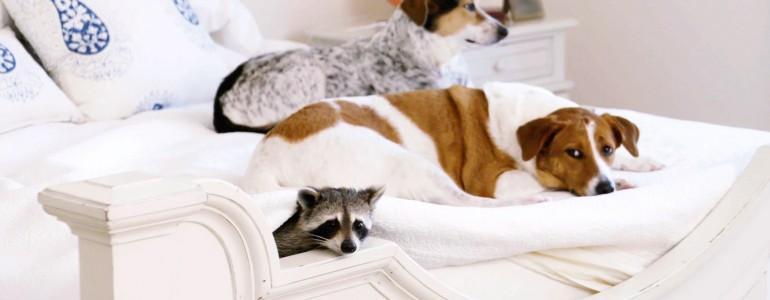 Két kutya a legjobb barátja a mosómedvének, aki a toalettet is egyedül használja