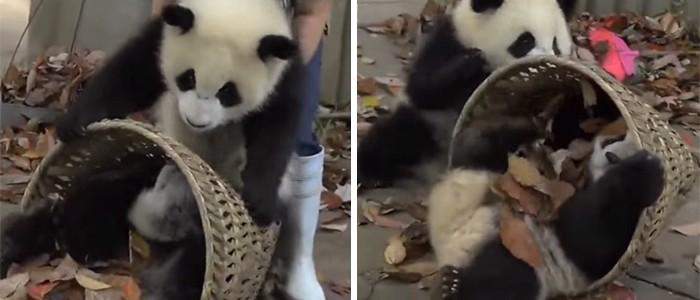 Ezek a rosszcsont bébipandák nem hagyják, hogy gondozójuk kitakarítsa kifutójukat
