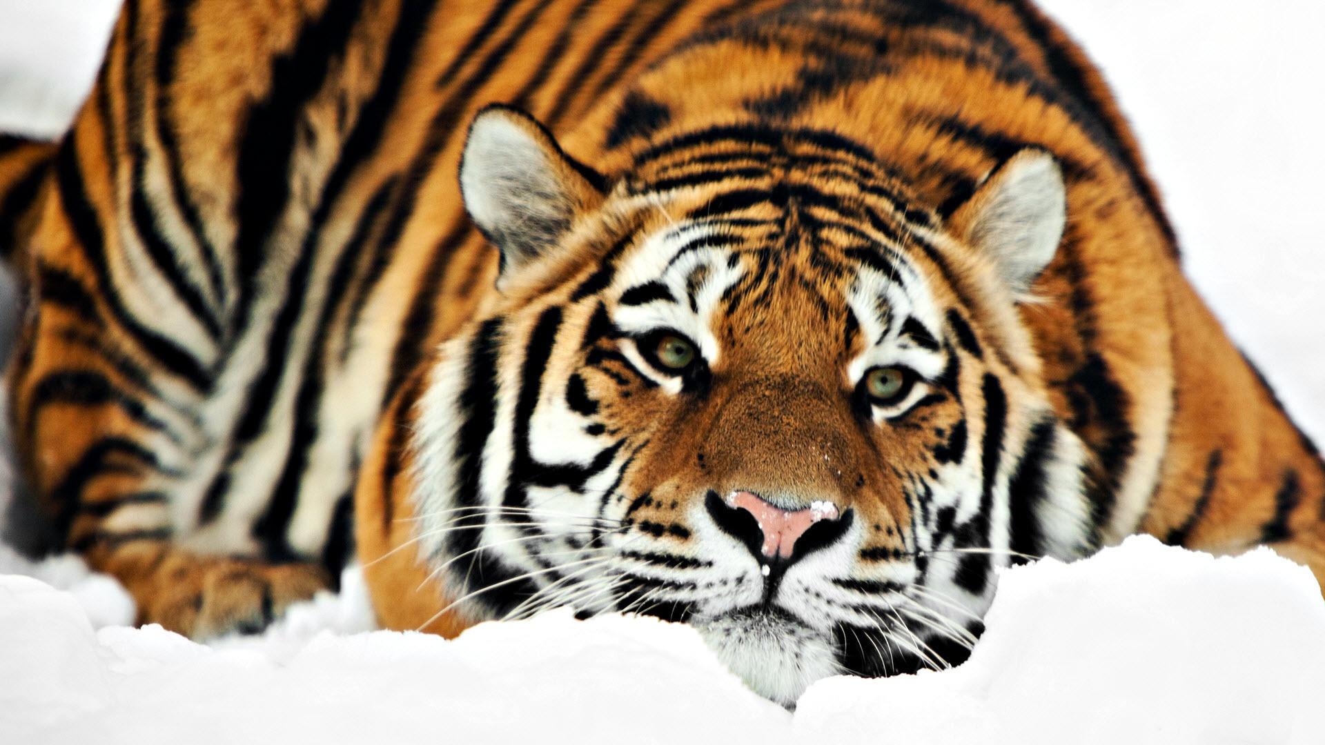 Nemzeti parkot terveznek a szibériai tigriseknek és az amuri leopárdoknak
