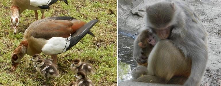 Makik és makákó, muflon és nílusi ludak születtek a Kecskeméti Vadaskertben