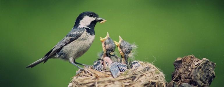 Tiltakozik a költési időben történő fakivágások ellen a madártani egyesület