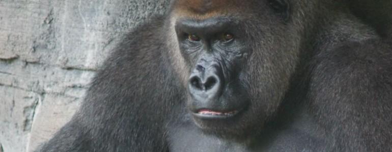 A lelőtt gorilla emlékére virrasztottak