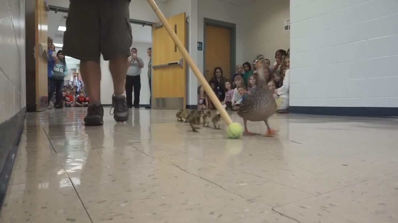 Kiskacsák vonulása miatt minden évben lezárják ennek az iskolának a folyosóját