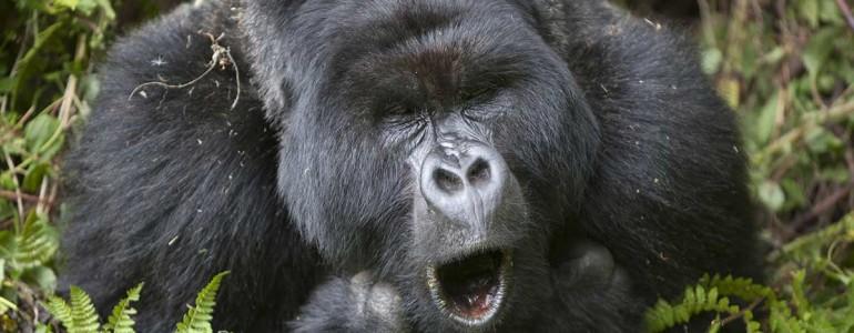 Evés közben dalra fakadnak a gorillák egy új kutatás szerint