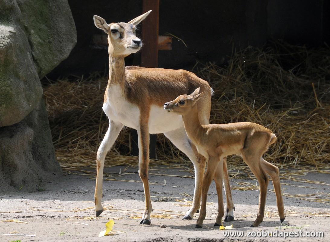 Tízszeres anyuka lett Bambi, a Fővárosi Állatkert antilopja