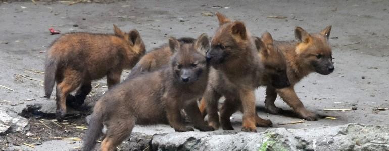 Előmerészkedtek a vadkutya kölykök a Fővárosi Állatkertben