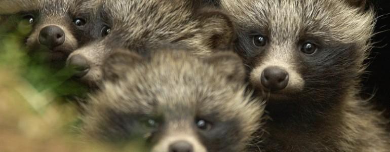 Kínai kutatók szerint veszélyes lehet az állatok visszaengedése a természetbe