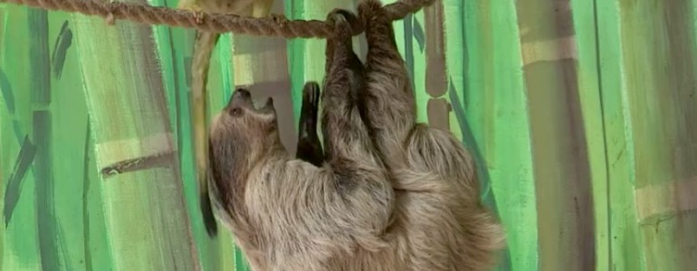 Bűneset Nyíregyházán – Meglopták az állatkert egyik lajhárját