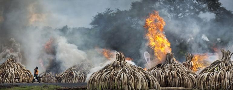 105 millió dollár értékű elefántcsont elégetésével üzent Kenya az orvvadászoknak