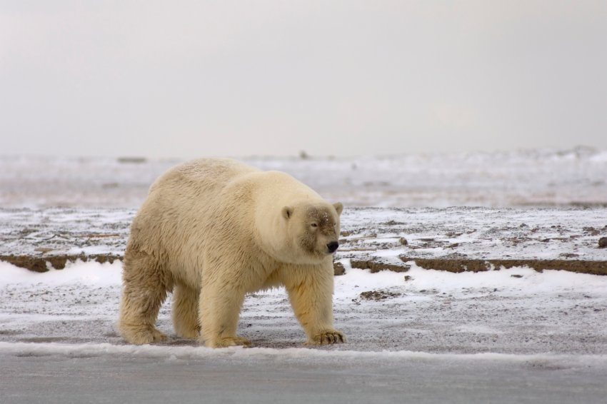 Original caption: Polar bear (Ursus maritimus) the shape of this bear's body, it's short neck, and it's odd face-when compared to other polar bears-lead one to believe it may be a grizzly bear hybrid, on the 1002 coastal plain of the Arctic National Wildlife Refuge, Alaska.  Without a DNA sample, it cannot be confirmed. Polar bears evolved from grizzly bears and today they are able to mate with one another. --- Image by © Steven Kazlowski/Science Faction/Corbis