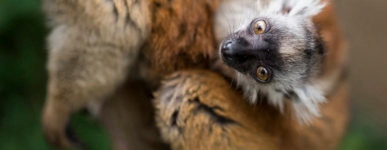 Ritka szerecsenmaki született a Nyíregyházi Állatparkban