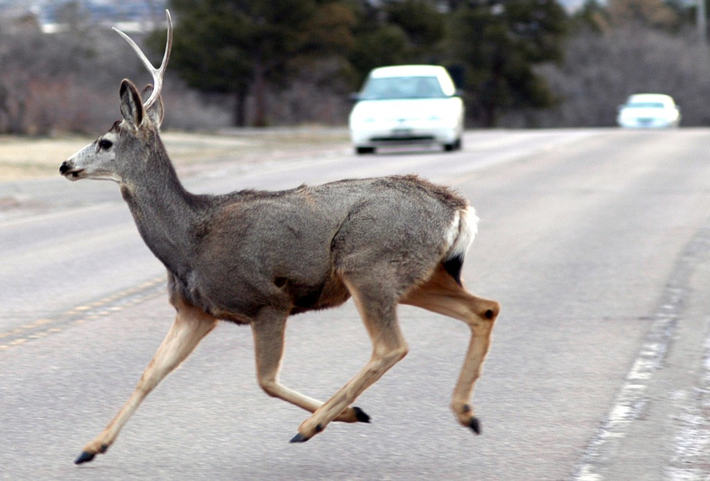 A mule deer crosses a road on the Air Force Academy March 8, 2007. Vehicle collisions with wildlife are the second-leading cause of accidents on the Academy, which has a deer population of about 250 and an elk population of roughly 35. (U.S. Air Force photo/Mike Kaplan)