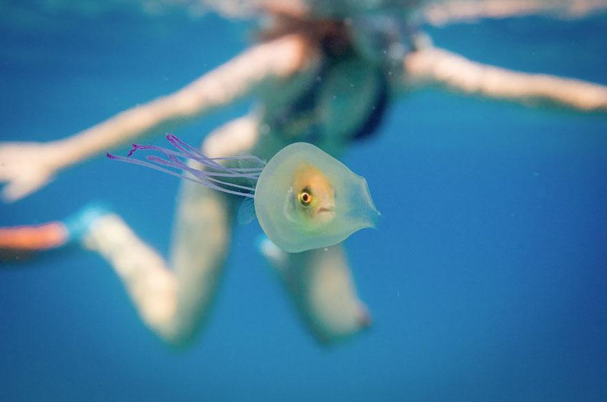 Medúzába szorult élő halról készült fénykép Ausztráliában