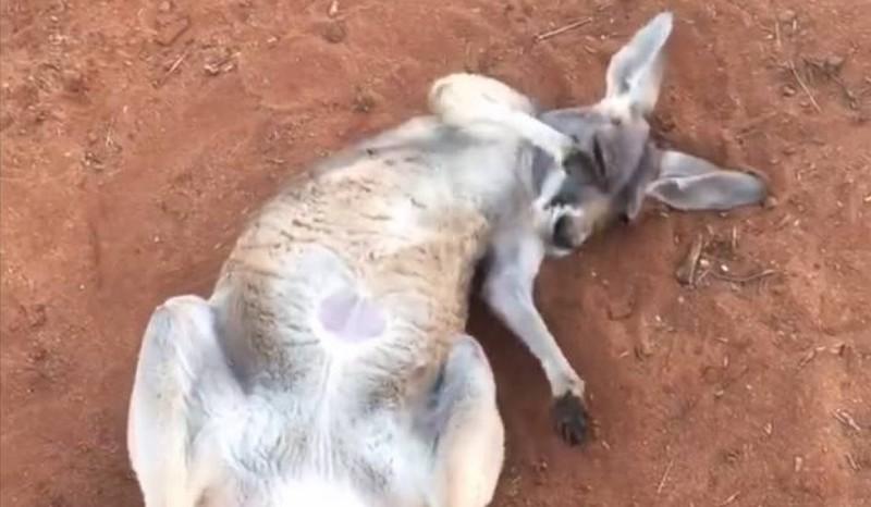 Hihetetlenül élvezi a napfürdőt a legcukibb kenguru