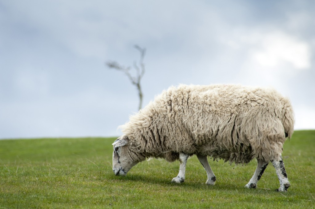 Lone sheep with a heavy fleece grazing on a green field on the skyline with copyspace