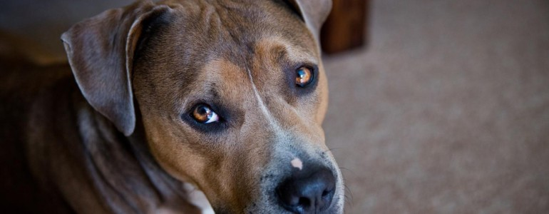 Harci kutyák felelőtlen gazdáinak címzett nyílt levél kering a Facebookon