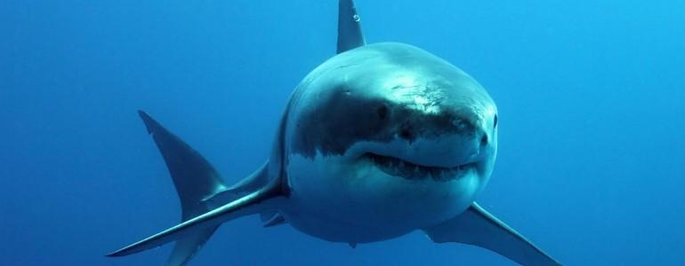 Megölték a cápát, aki szörfösre támadt
