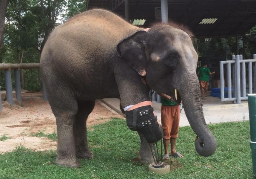 Ő itt Mosha, az első elefánt, aki műlábat visel