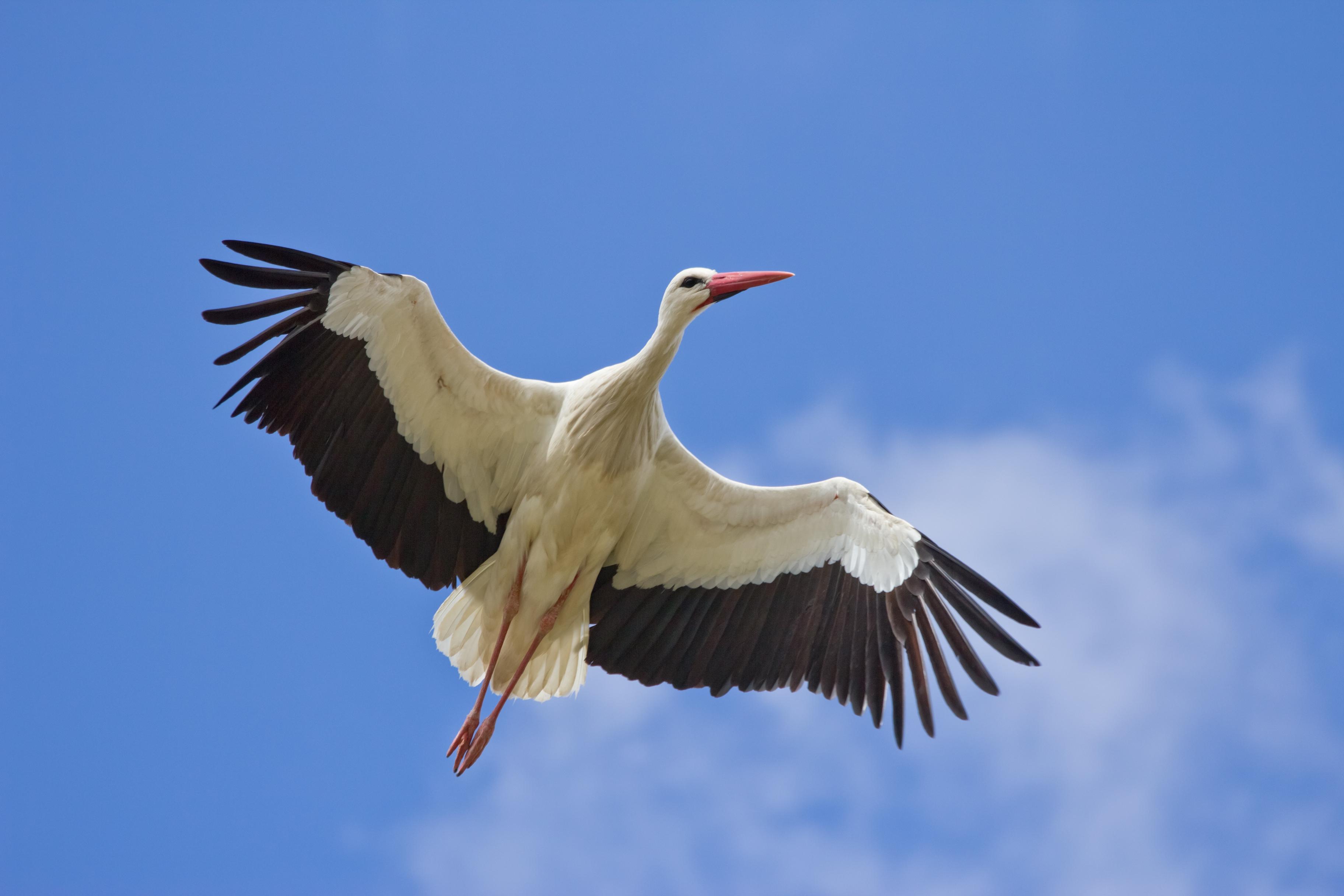 Nagybajomban tartják az európai gólyás falvak idei találkozóját
