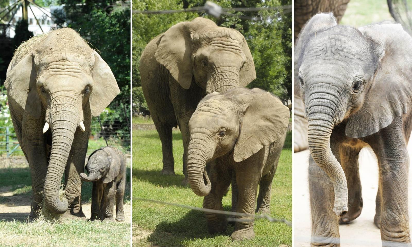 Egy éves lett Kito, a nyíregyházi elefántbébi