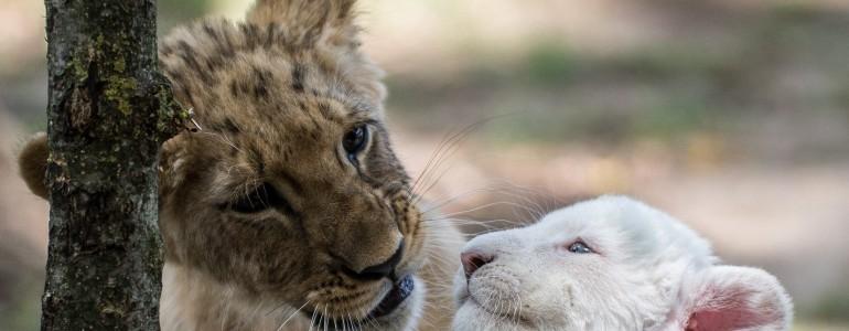 Egy fehér és egy barna oroszlánkölyköt nevelnek együtt a felsőlajosi állatkert gondozói