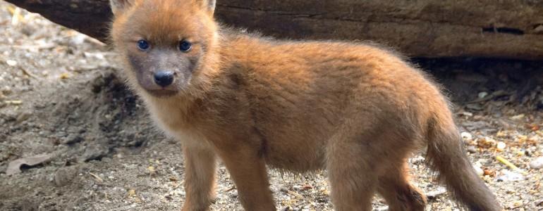 Családi idill a Fővárosi Állatkertben élő ázsiai vadkutyáknál