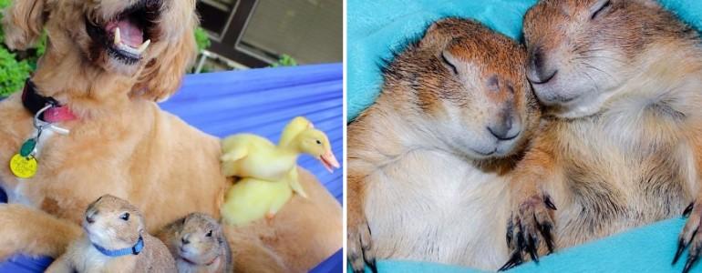 Bármilyen állattal képes barátságot kötni ez a két imádnivaló prérikutya