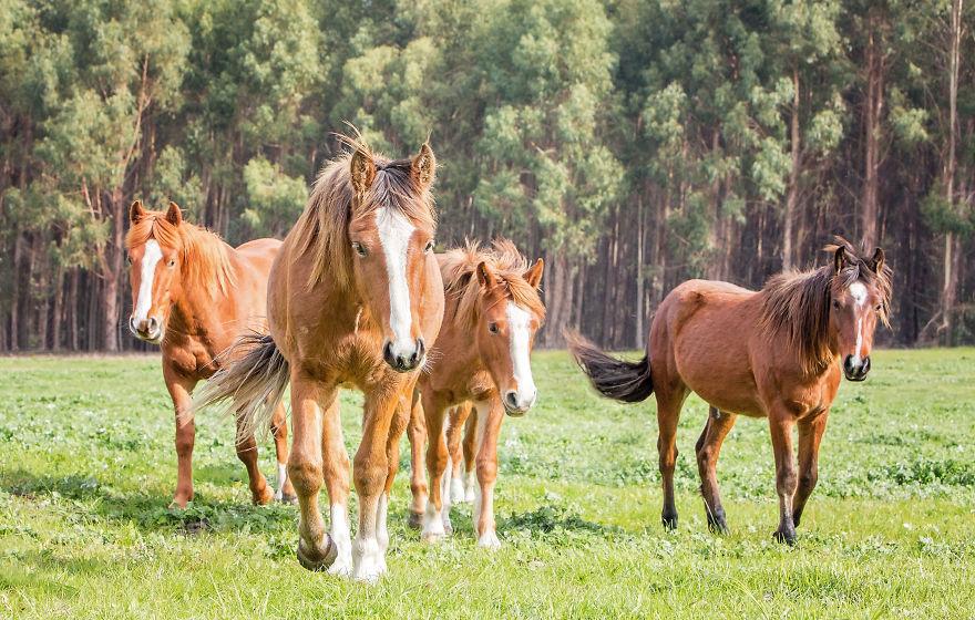 Ausztrália vadlovainak csodálatos világát örökítette meg ez a fotós