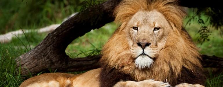 Fogságban kell leélnie életét egy indiai vadrezervátum három emberevő oroszlánjának