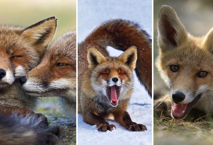 Kukkants be Hollandia vadon élő rókáinak életébe ezeken a nem mindennapi fotókon keresztül!