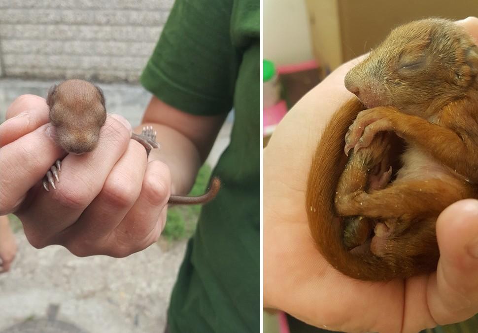 Egyre erősebb a Farkaserdőben talált mókuskölyök