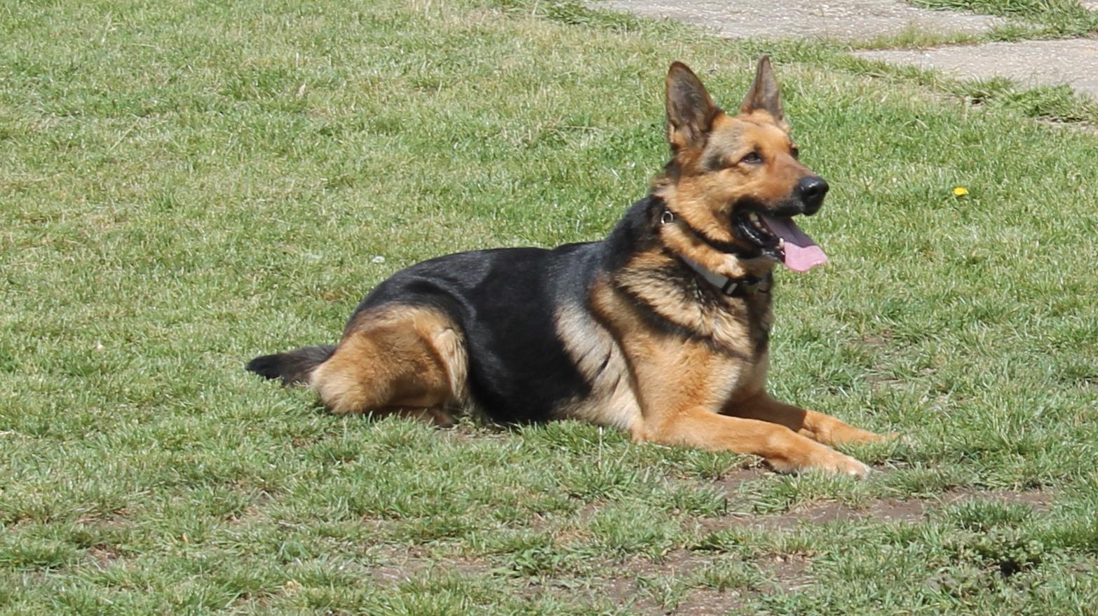 Bűnözőket fogott Nokedli, a nyomkövető kutya