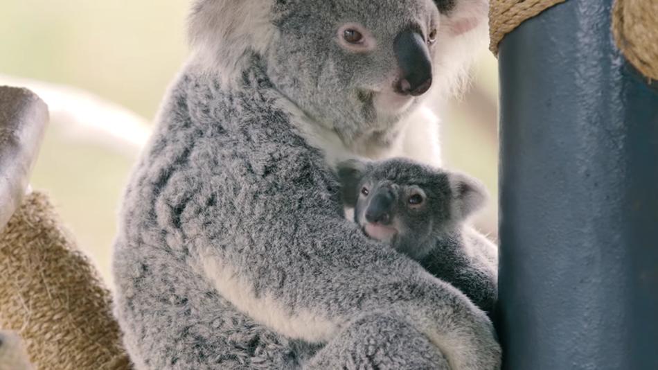 Bemutatkozott a San Diego Zoo koalabébije