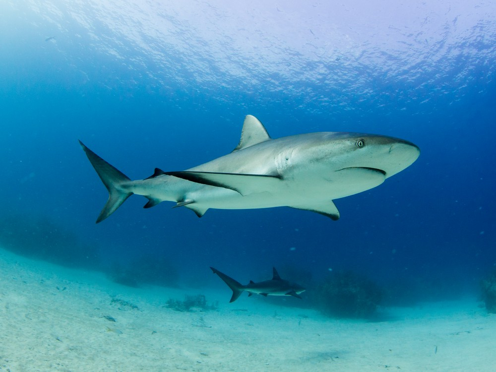 Meglepő eredményekkel szolgál a világ eddigi legnagyobb cápaszámlálása