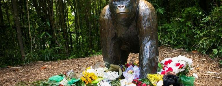 Itt a vége: nem emelnek vádat a lelőtt gorilla ügyében