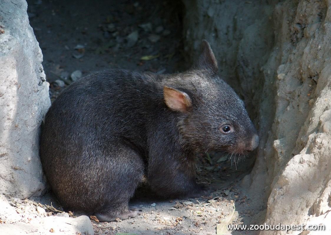 Előmerészkedett a budapesti állatkert legifjabb vombatja