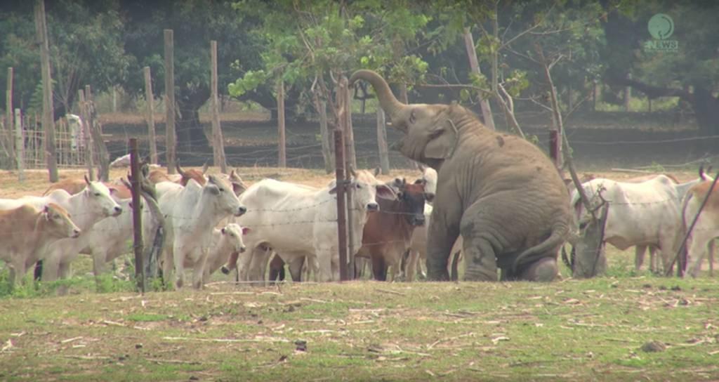 Ezek a tehenek nem nagyon értékelik, pedig ez a táncoslábú kis elefánt tündéri!