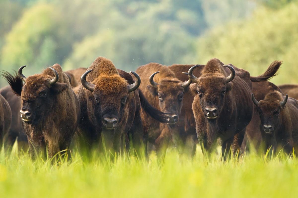Újabb tíz bölényt engednek szabadon a dél-erdélyi Szárkő-hegységben