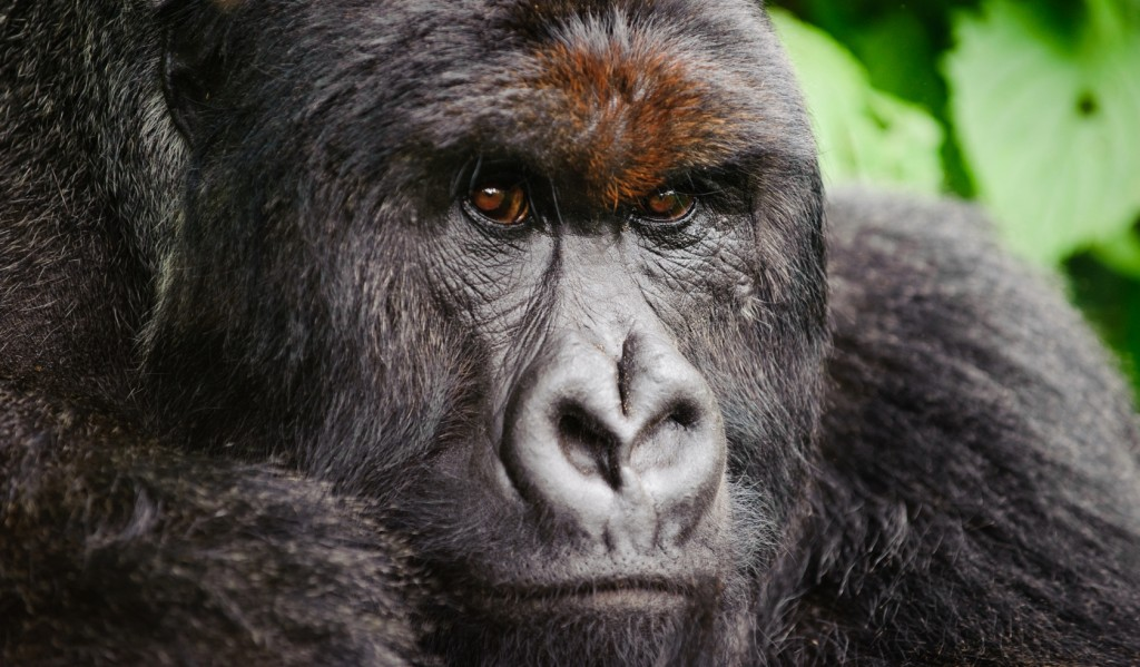 Huge silverback mountain gorilla in Virunga National Park, Democratic Republic of Congo.