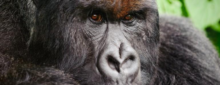 Levelet írt Jane Goodall főemlőskutató a gorillát kilövő állatkert igazgatójának