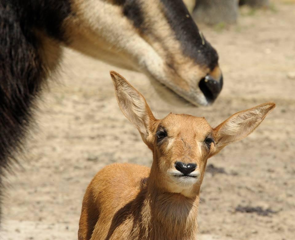 Fekete lóantiloppal gyarapodott a Nyíregyházi Állatpark
