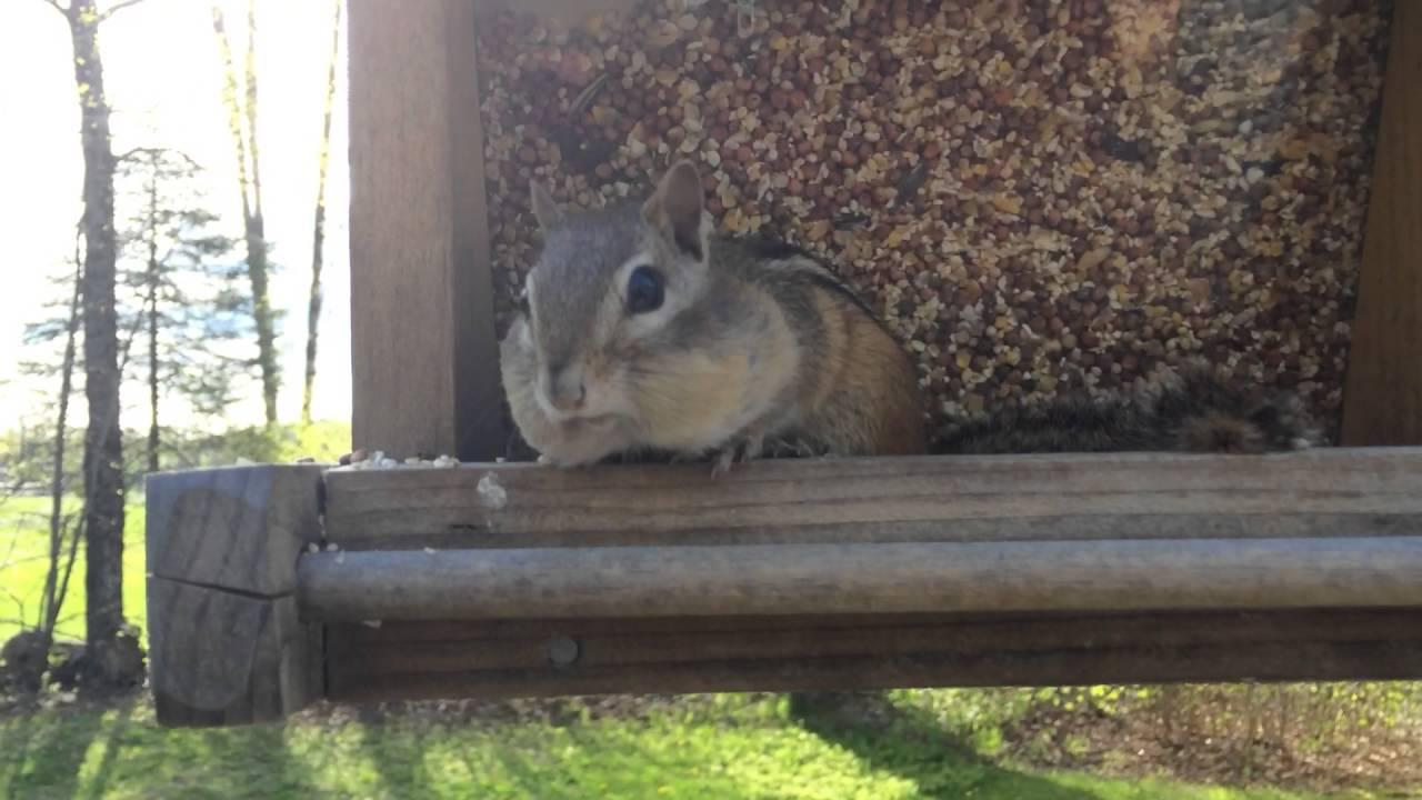 Lebukott a madáretetőből lopó falánk mókus