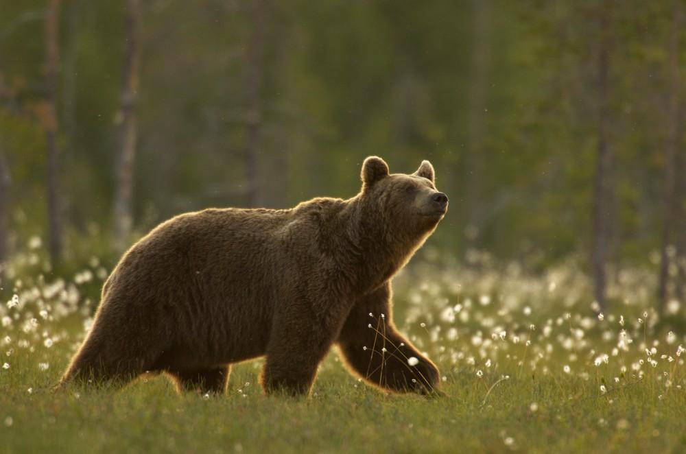 Medve sebesített meg egy férfit Brassóban