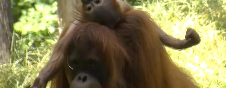 Családi idill a budapesti orangutánoknál