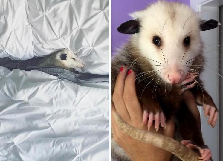 Az egész család szívébe belopta magát a megmentett oposszum