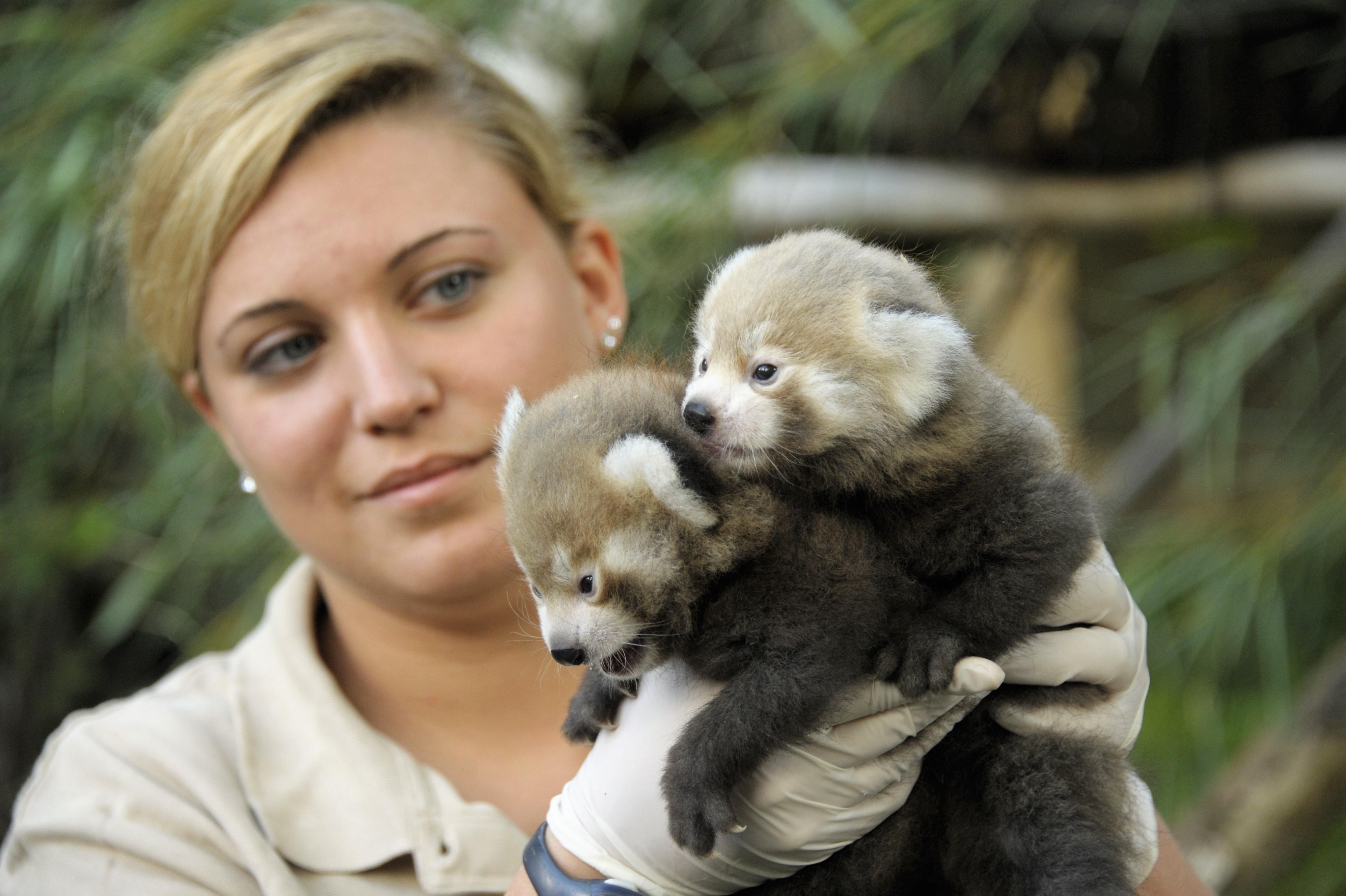 Kis panda ikrek születtek Nyíregyházán